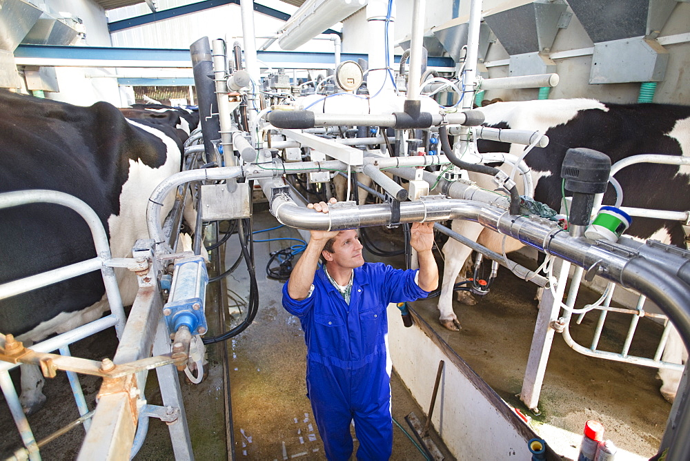 Farmer Milking Cows In Parlour