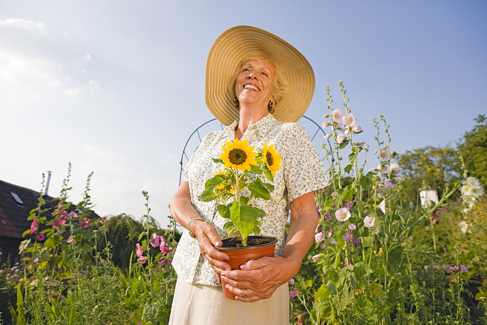 Senior Woman Planting Sunflower In Cottage Flower Garden