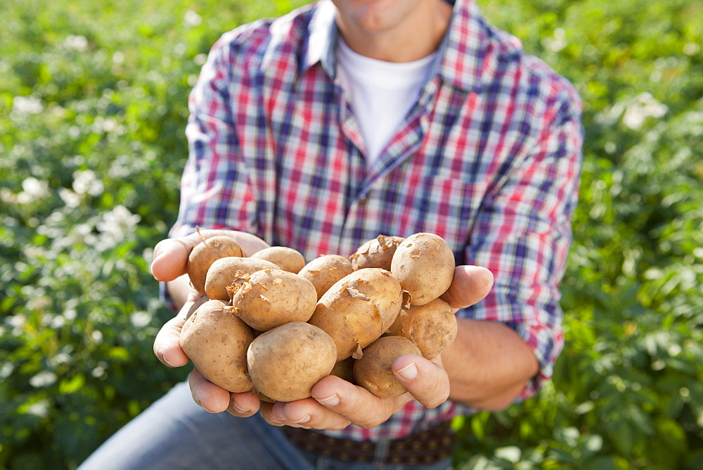 Close Up Of Farmer Holding Potato Crop In Field