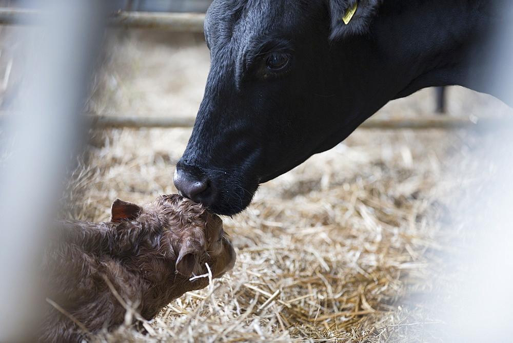 Fresian Cow Washing Newborn Calf On Farm