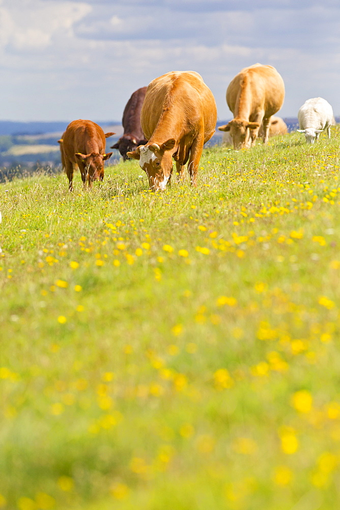 Devon Cow amongst herd, in rural field