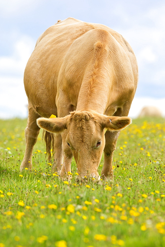 Cow grazing in rural field
