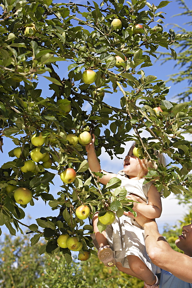 Father lifting daughter (2-3) above head, girl picking apple from tree in garden, low angle view