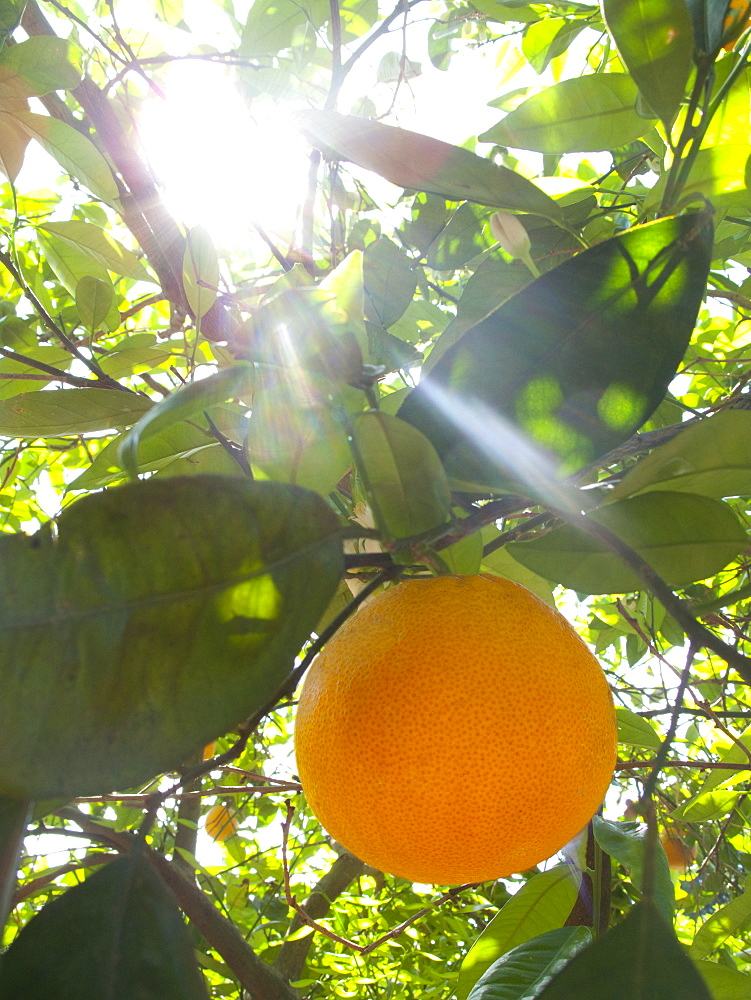 Close up of sun shining on orange growing on tree