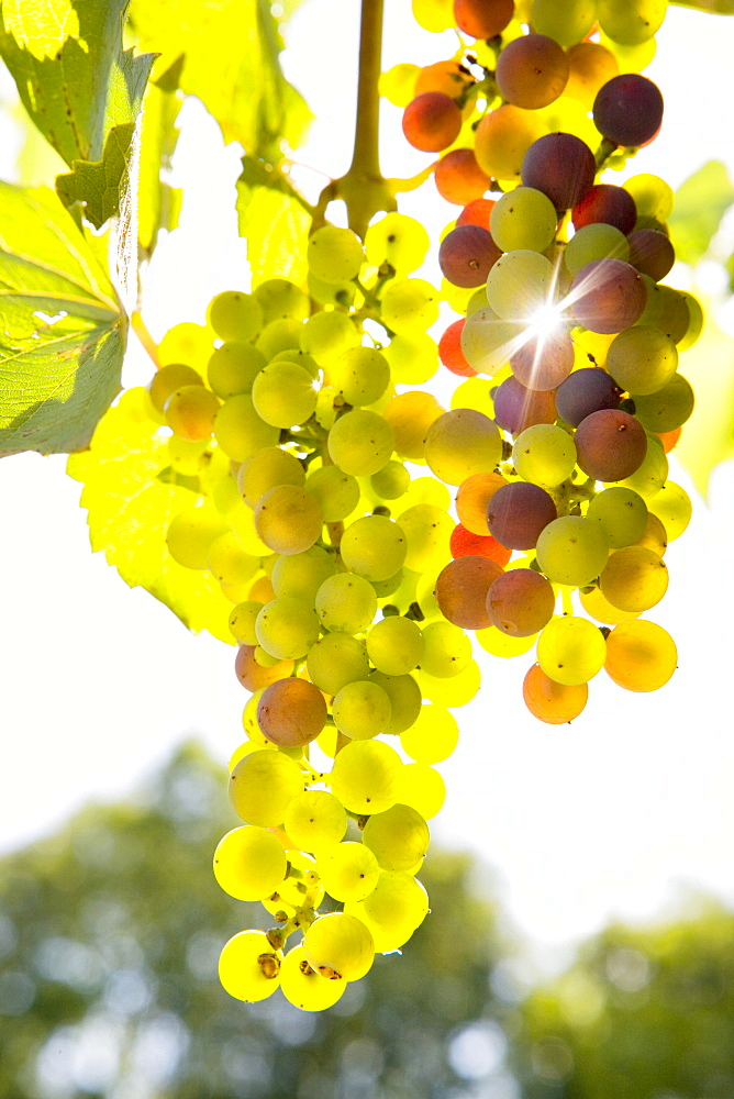 Close up of growing green grapes on vine with sunbeam shining through - 786-6738