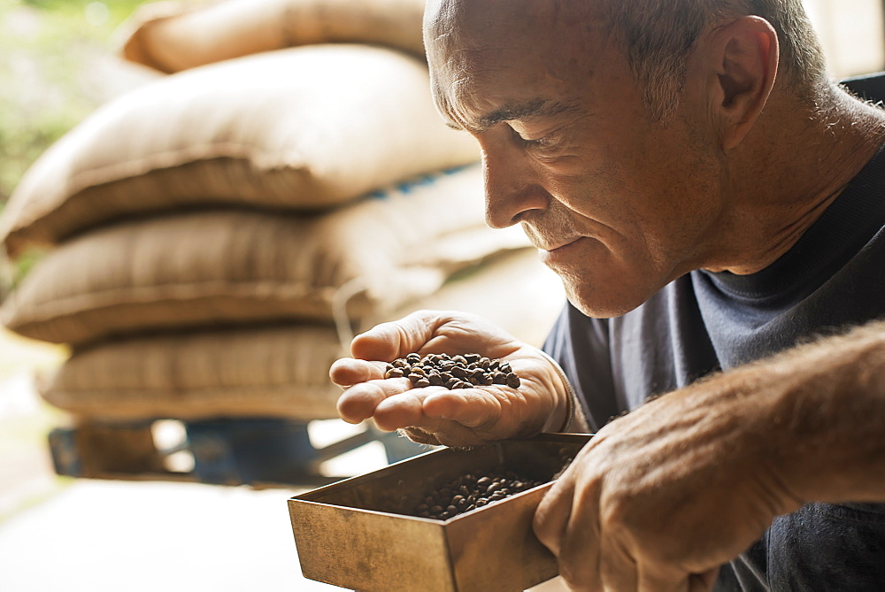 A man examining and smelling the aroma of beans at a coffee bean processing shed, on a farm, New York state, USA