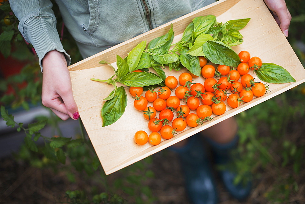 Organic Farming. A wooden tray of red cherry tomatoes and basil leaves, Woodstock, New York, USA