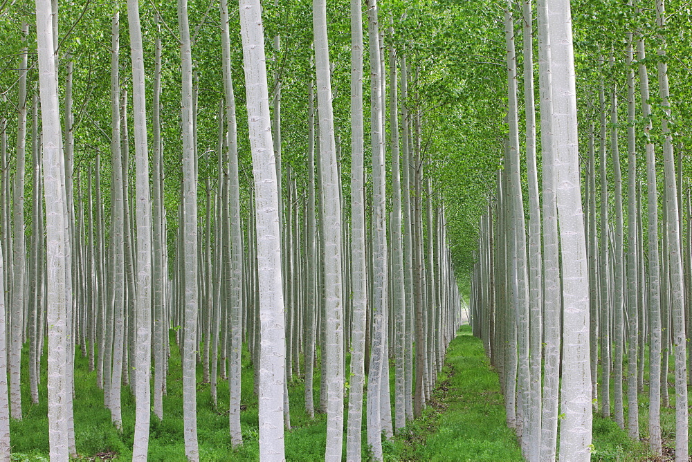 Poplar tree plantation, tree nursery growing tall straight trees with white bark in Oregon, USA, Oregon, USA