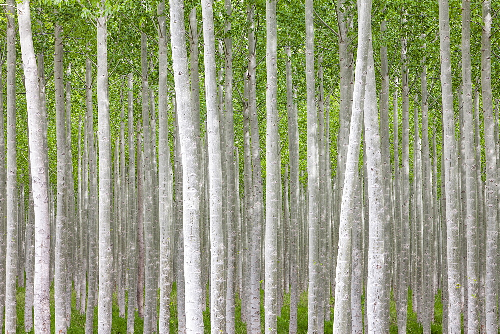 Poplar tree farm or tree plantation in Oregon, Oregon, USA