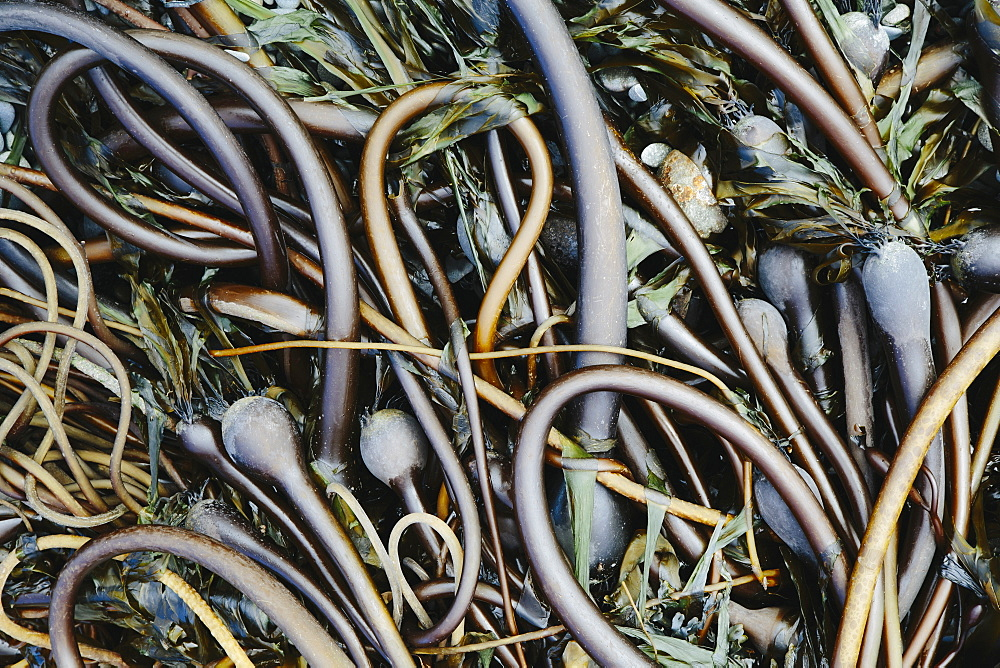 Pile of Bull Kelp seaweed washed up on beach on Rialto Beach, USA, Rialto Beach, Olympic National Park, Washington, USA.