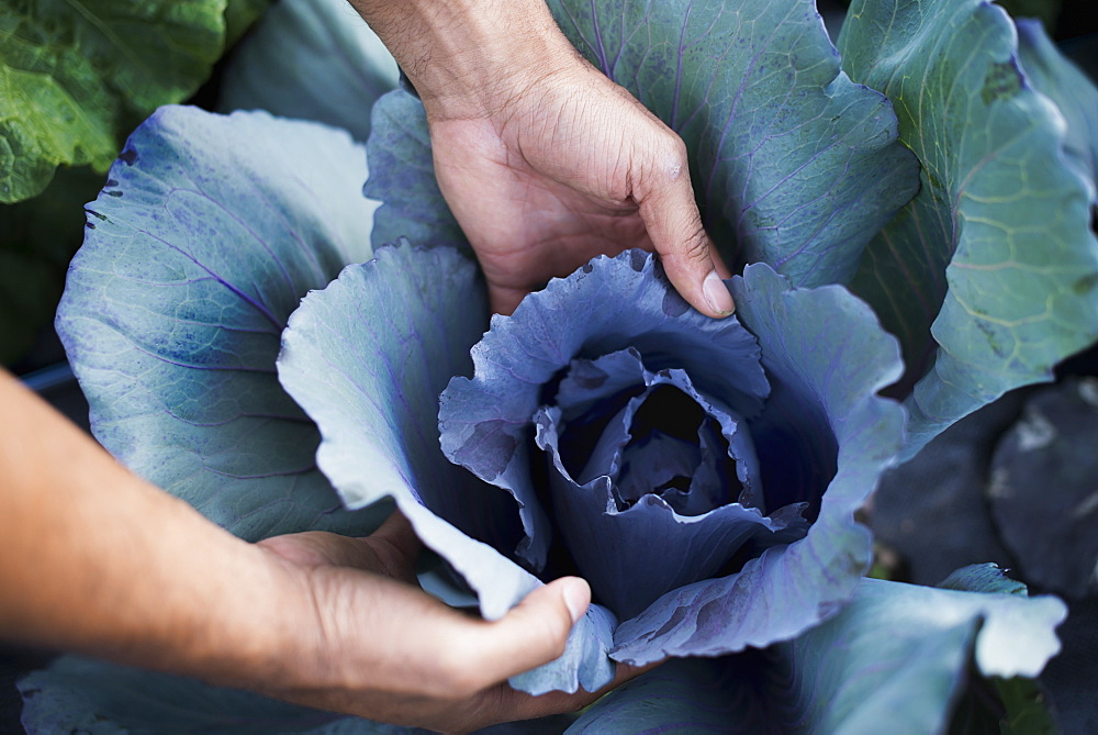 Organic Cabbage Plants in Field, Woodstock, New York, USA