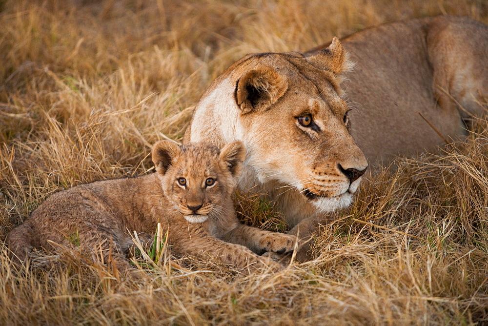 African lion and cub, Duba Plains, Botswana, Duba Plains, Botswana