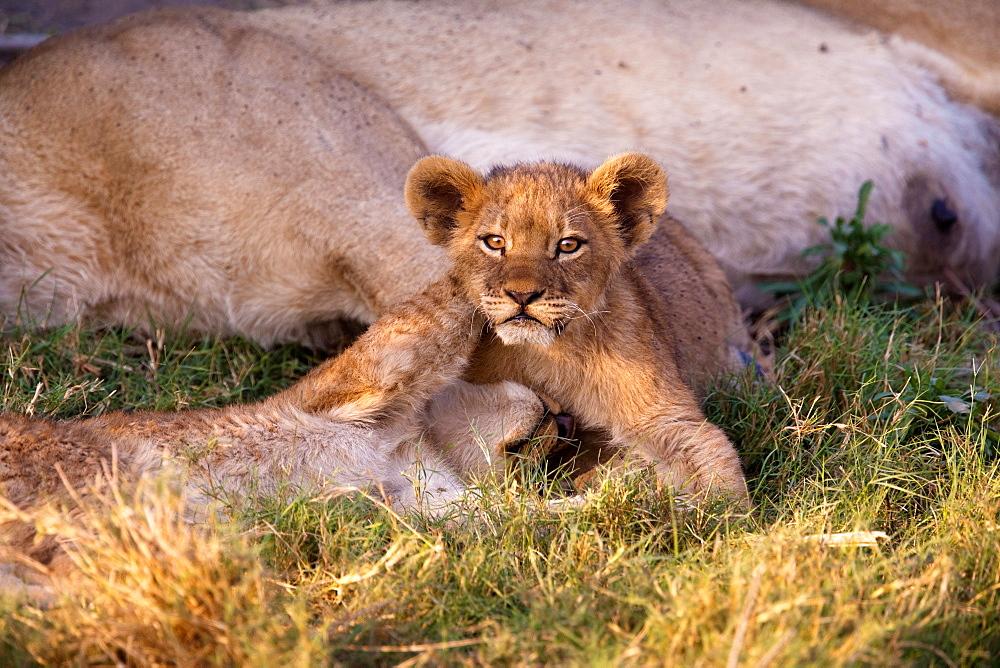 African lion cubs, Botswana, Botswana