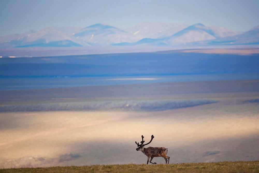 Caribou, Arctic National Wildlife Refuge, Alaska, USA, Arctic National Wildlife Refuge, Alaska, USA