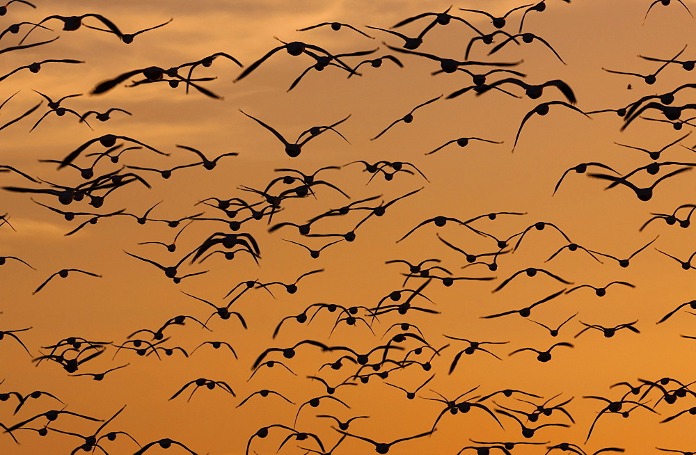 Snow geese, Bosque Del Apache National Wildlife Refuge, New Mexico, USA, Bosque Del Apache National Wildlife Refuge, New Mexico, USA - 1174-1562