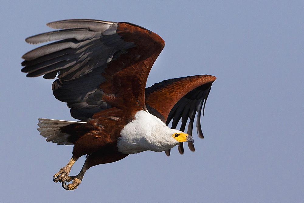 African fish eagles, Chobe National Park, Botswana, Chobe National Park, Botswana