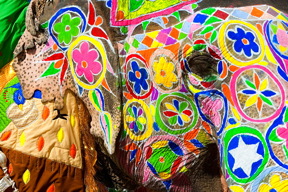 Elaborately adorned elephants during Holi, the Hindu festival of colours, in Jaipur, India. Images of peacocks and tigers on the foreheads, Jaipur, Rajasthan, India