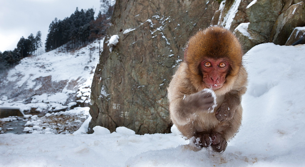 Japanese macaque, Honshu Island, Japan, Honshu Island, Japan