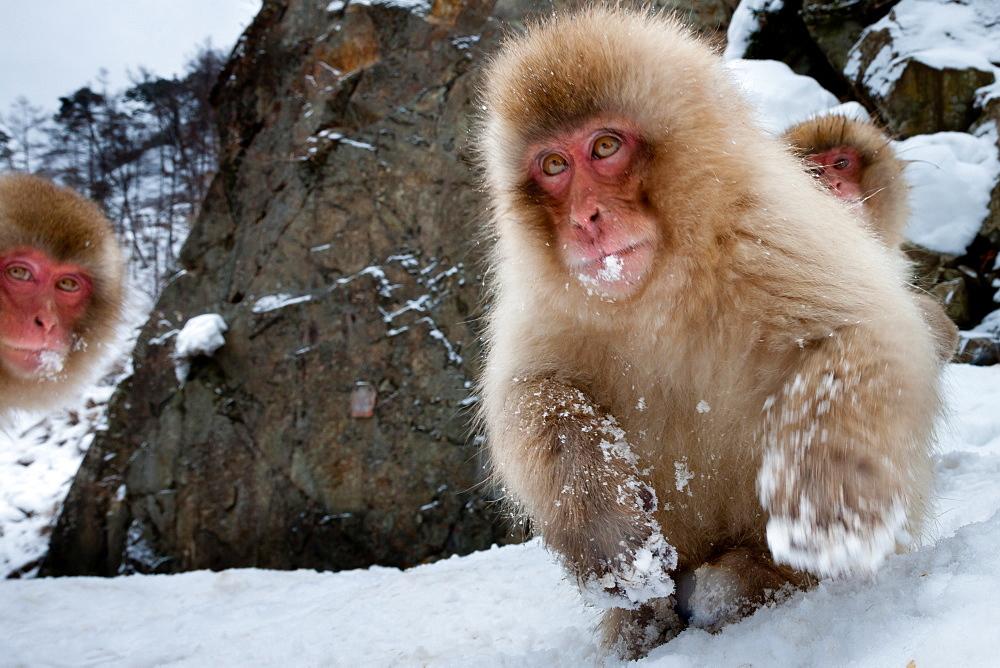 Japanese macaques, Honshu Island, Japan, Honshu Island, Japan