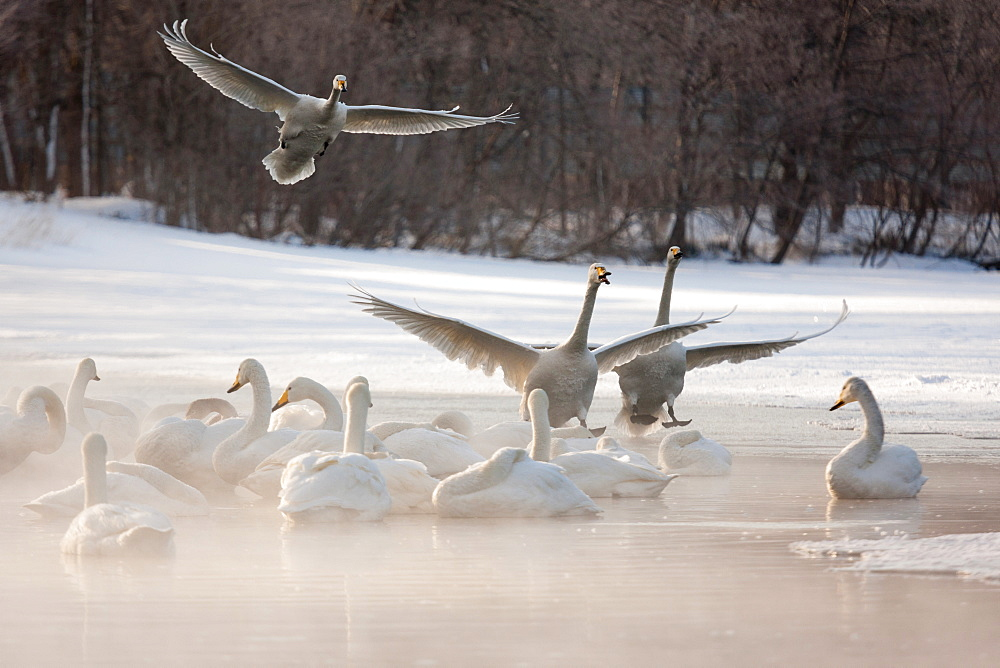 Cygnus cygnus, Whooper swans, on a frozen lake in Hokkaido, Hokkaido, Japan