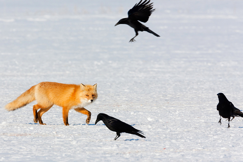 Red fox and crows, Hokkaido, Japan, Hokkaido, Japan