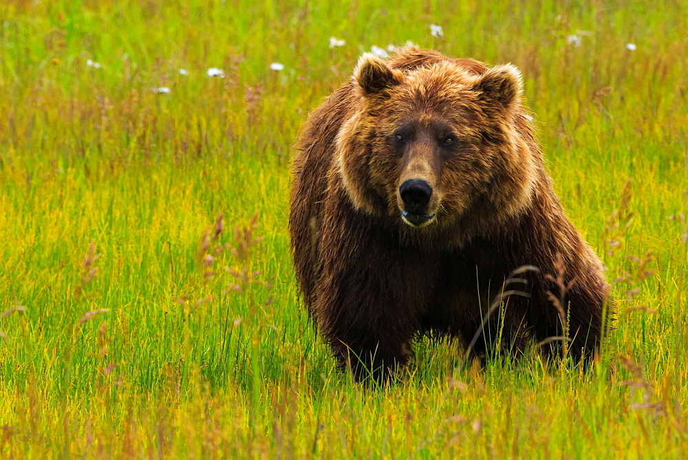 Brown bear, Lake Clark National Park, Alaska, USA, Lake Clark National Park, Alaska, USA