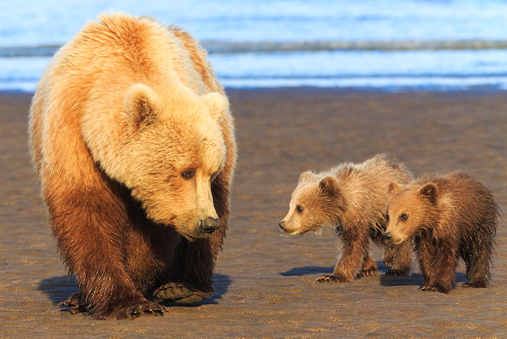 Brown bear sow and cubs, Lake Clark National Park, Alaska, USA, Lake Clark National Park, Alaska, USA