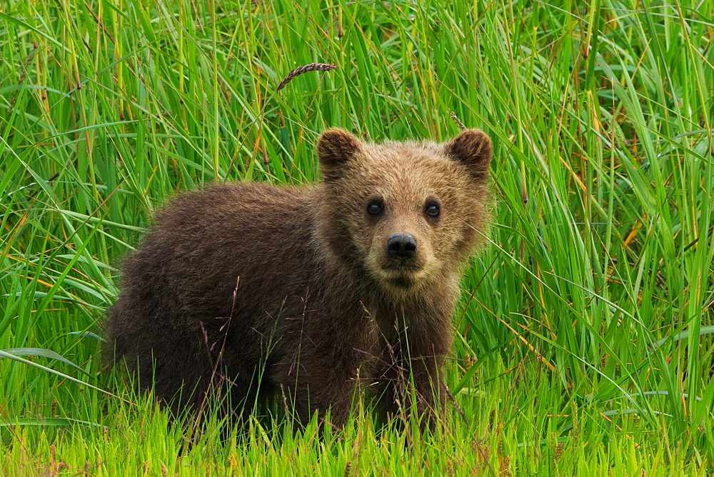 Brown bear cub, Lake Clark National Park, Alaska, USA, Lake Clark National Park, Alaska, USA