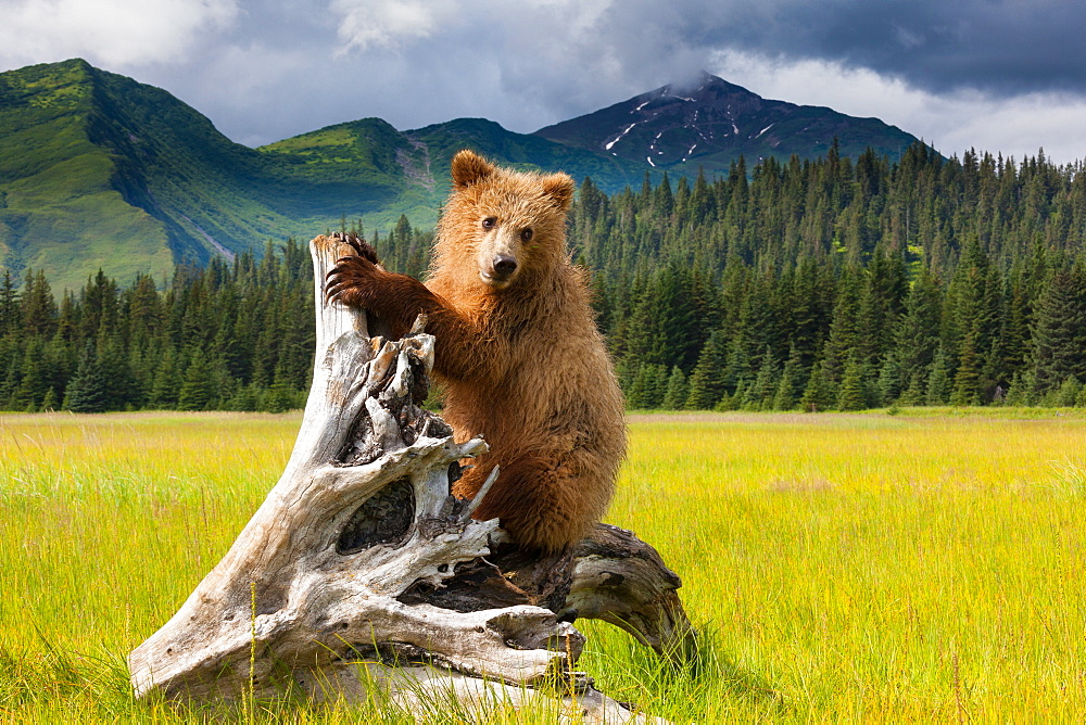 Brown bear, Lake Clark National Park, Alaska, Lake Clark National Park, Alaska, USA