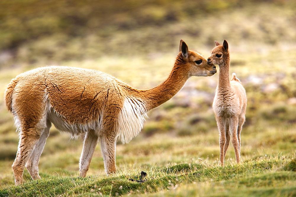 Guanaco, cria, Lauca National Park, Chile, Lauca National Park, Chile