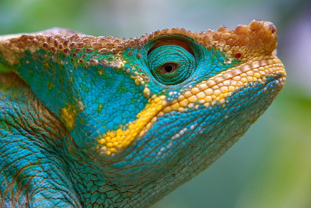 Parson's Chameleon, Calumma parsonii, Madagascar, Madagascar