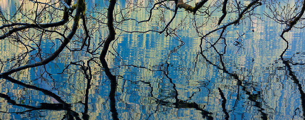Branches dip into the surface of Lake Crescent, Olympic National Park, Washington, USA, Lake Crescent, Olympic National Park, Washington, USA