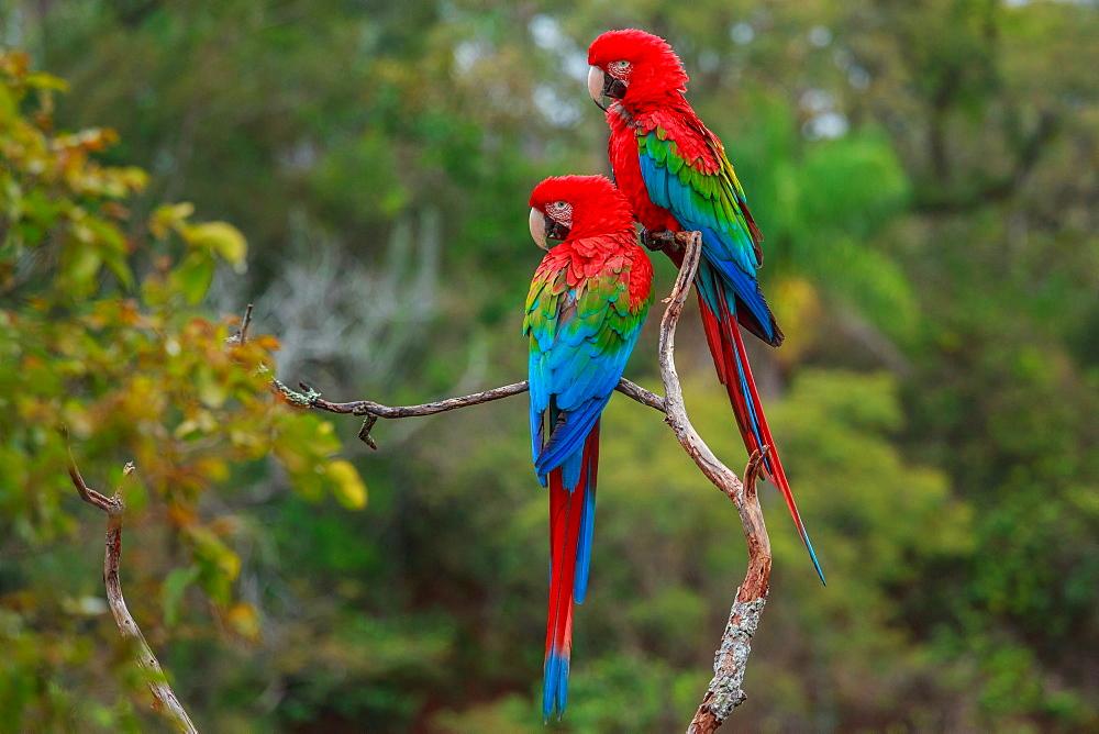 Red-and-green macaws, Ara chloroptera, Buraco das Araras, Brazil, Buraco das Araras, Brazil