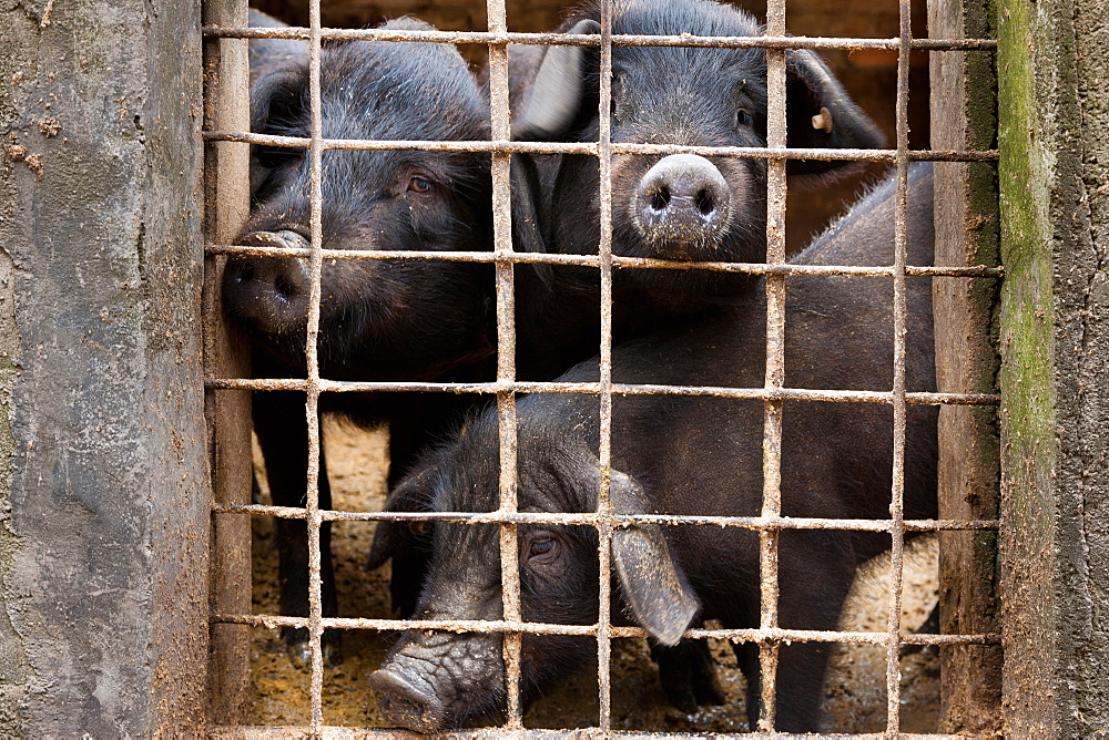 Livestock pigs, Yuanyang, China, Yuanyang, China