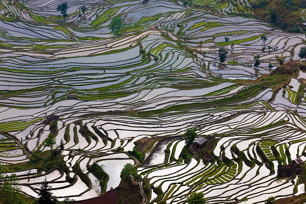 Terraced rice fields, Yuanyang, China, Yuanyang, China