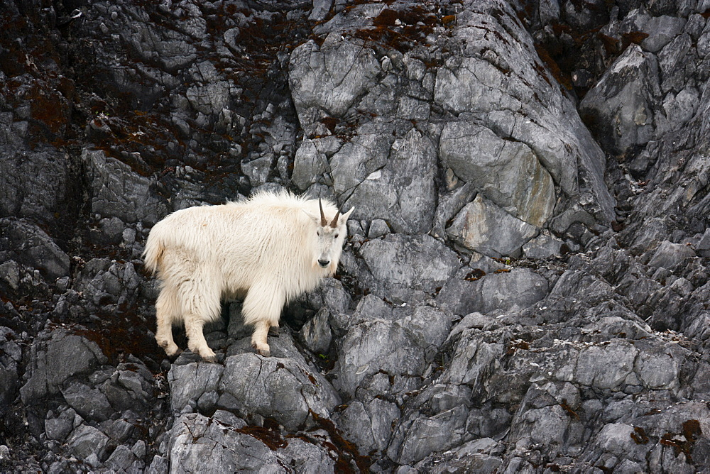 Mountain Goat, Glacier Bay National Park and Preserve, Alaska, USA, Glacier Bay National Park and Preserve, Alaska, USA