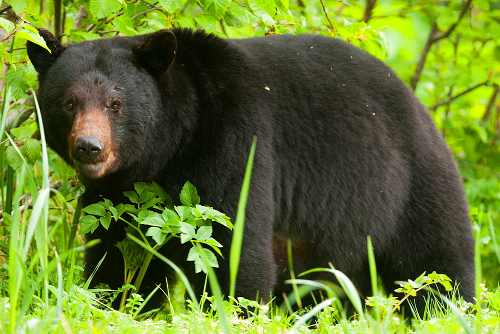 Black bear, Glacier National Park and Preserve, Alaska, USA, Glacier Bay National Park and Preserve, Alaska, USA