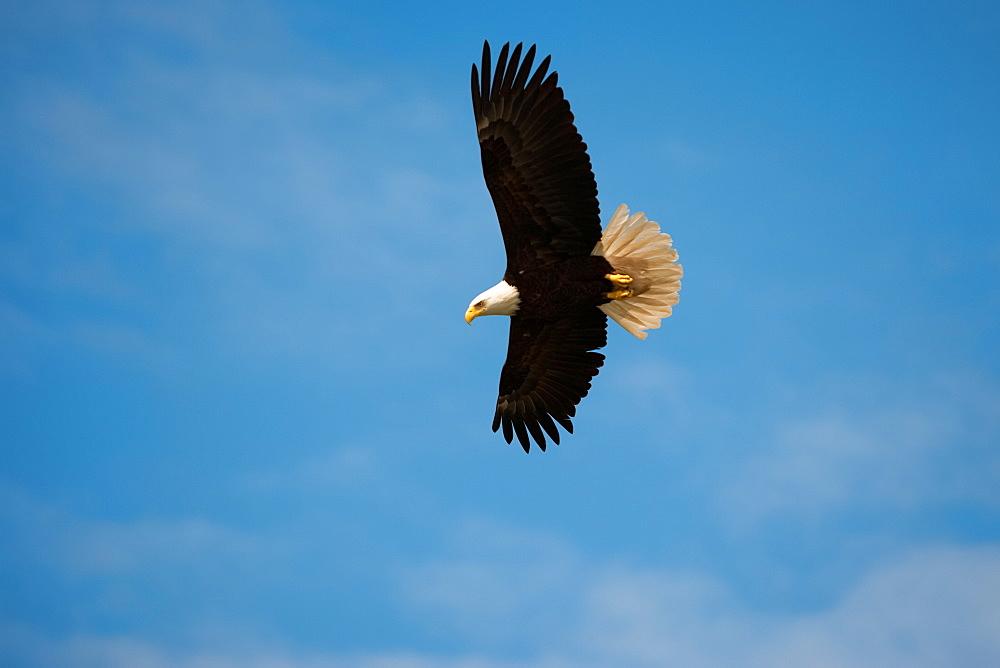 Bald Eagle, Glacier Bay National Park and Preserve, Alaska, USA, Glacier Bay National Park and Preserve, Alaska, USA