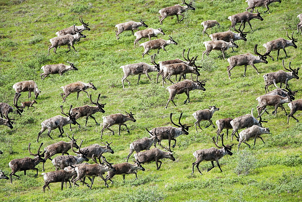 Caribou, Arctic National Wildlife Refuge, Alaska, USA, Arctic National Wildlife Refuge, Alaska USA