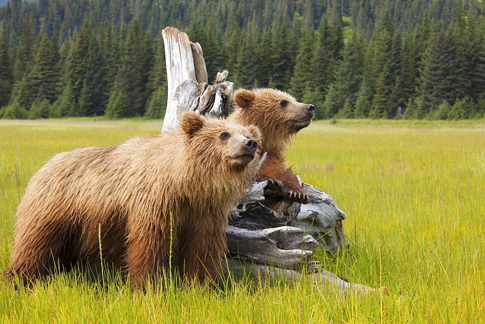 Brown bears, Lake Clark National Park, Alaska, USA, Lake Clark National Park, Alaska, USA
