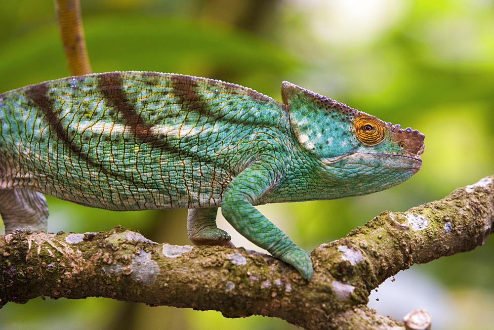 Parson's chameleon, Madagascar, Madagascar