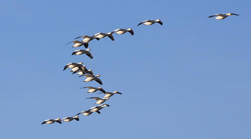 Snow geese in flight, Skagit Valley, Washington, USA, Skagit Valley, Washington, USA