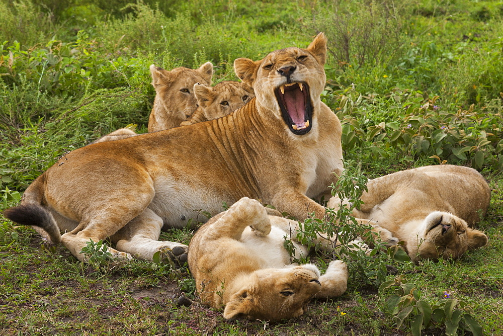 Lion and cubs resting and relaxing in the Serengeti National Park, Tanzania, Serengeti National Park, Tanzania