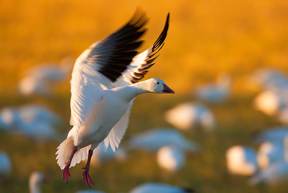 A snow goose landing on the ground in Bosque del Apache National Wildlife Refuge, New Mexico, Bosque del Apache National Wildlife Refuge, New Mexico, USA