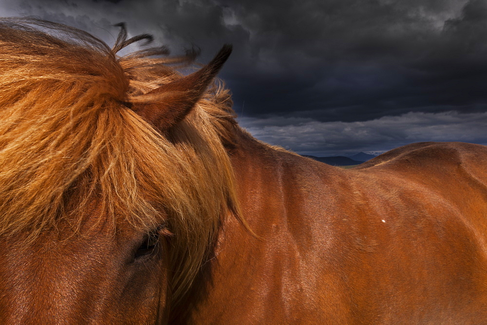 A dun coloured Icelandic horse with a thick brown mane, Iceland