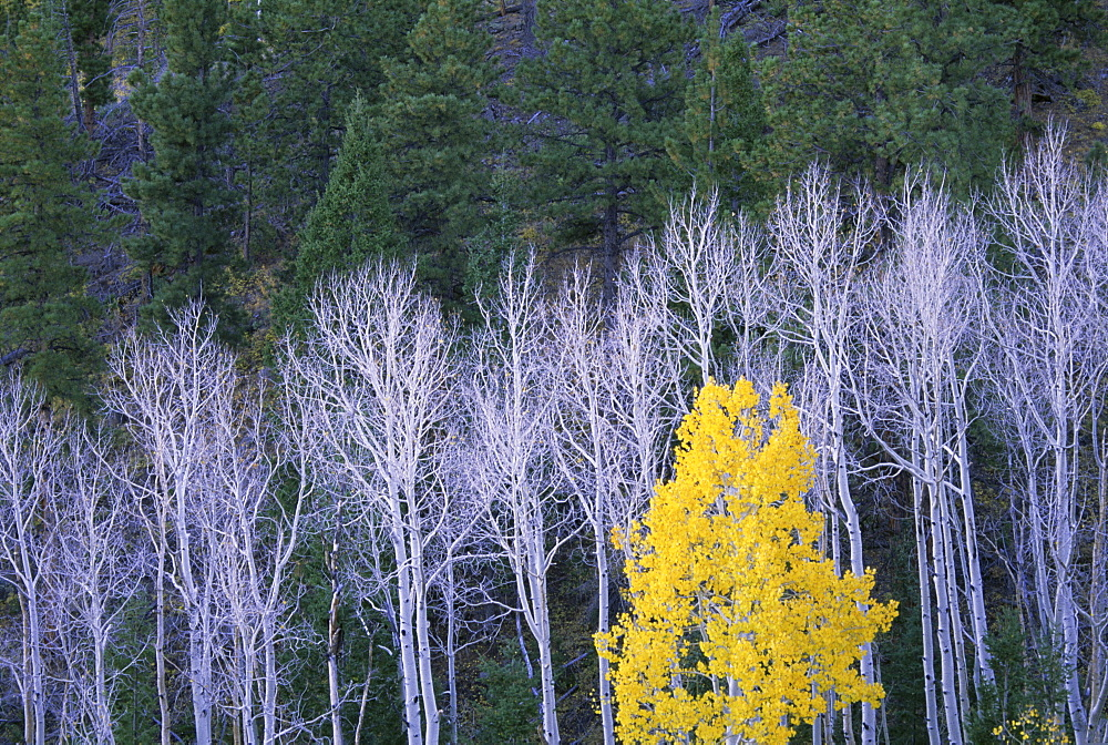 Autumn in Dixie National Forest. White branches and tree trunks of aspen trees, with yellow brown foliage. Dark green pine trees, Dixie National Forest, Utah, USA