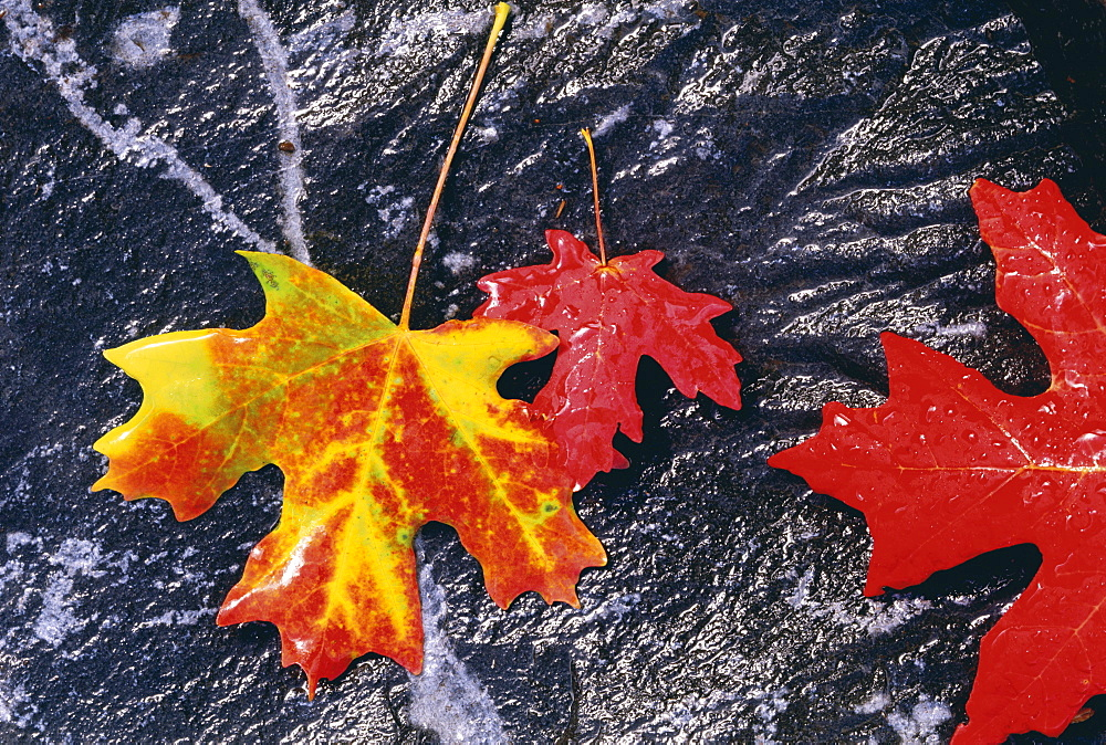 Autumnal foliage. Three maple leaves in orange and red, laid on a black rock background, Utah, USA