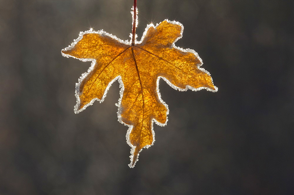 A brown frosted maple leaf, with a frosted edge, with the light shining through it. Autumn, Utah, USA