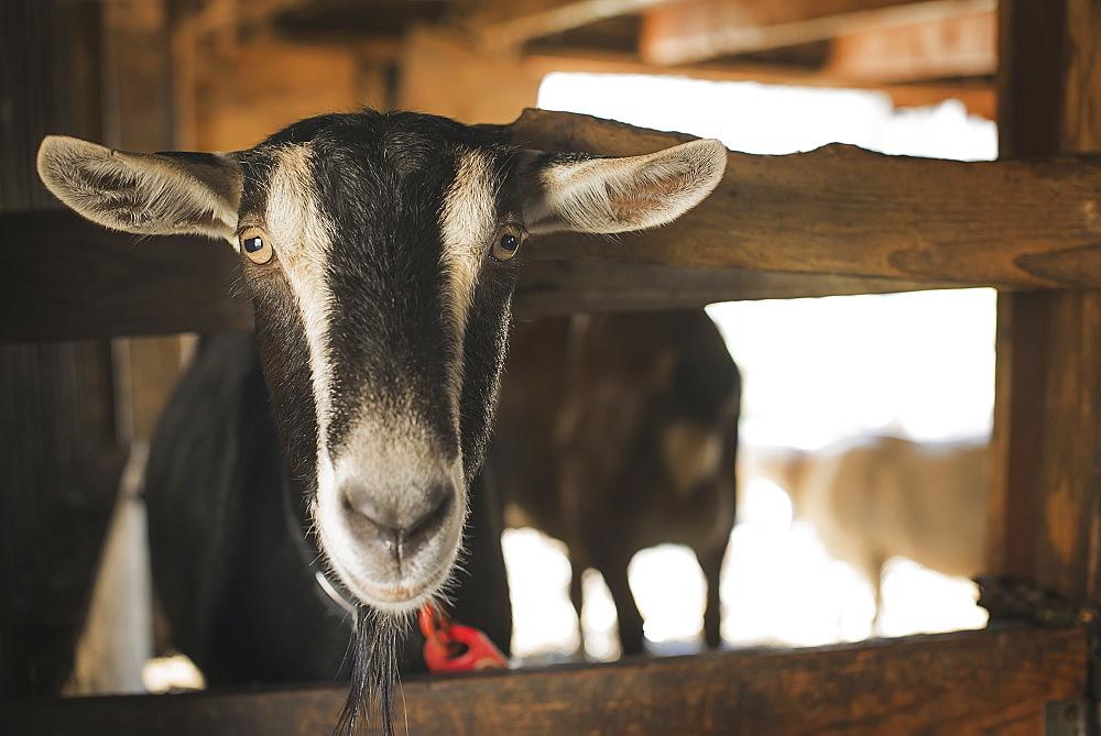 A farm animal on an organic farm. A goat in a pen, Poughkeepsie, New York, USA