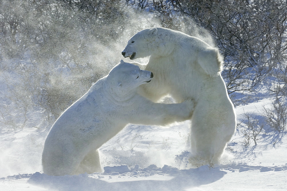 Polar bears in the wild. A powerful predator and a vulnerable or potentially endangered species. Two animals wrestling each other, Manitoba, Canada - 1174-2031